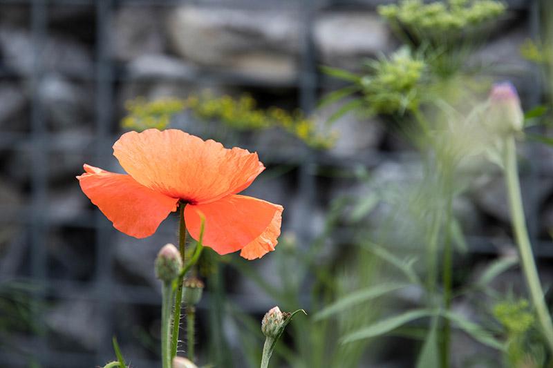 Jardin urbain : un coquelicot dans la ville ! Avril sur un fil