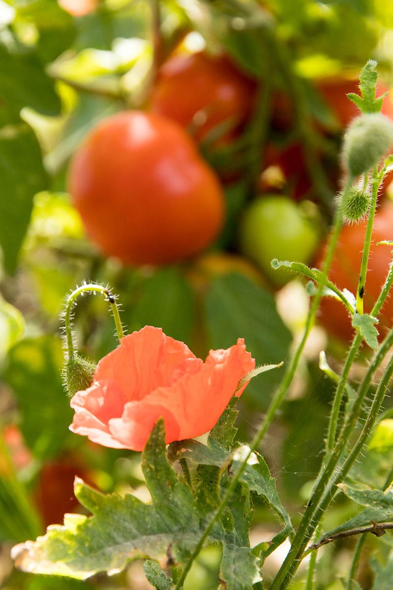 Tomates et coquelicots dans le jardin - Avril sur un fil